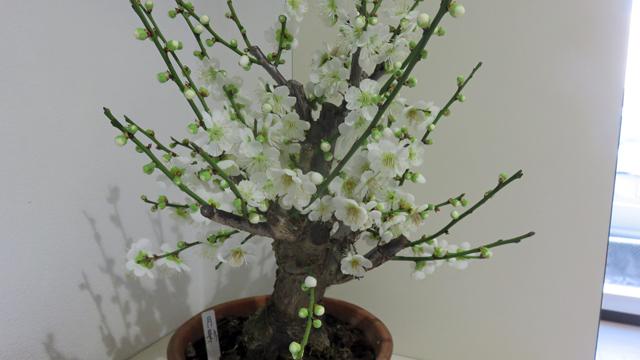 玄関の花 白梅