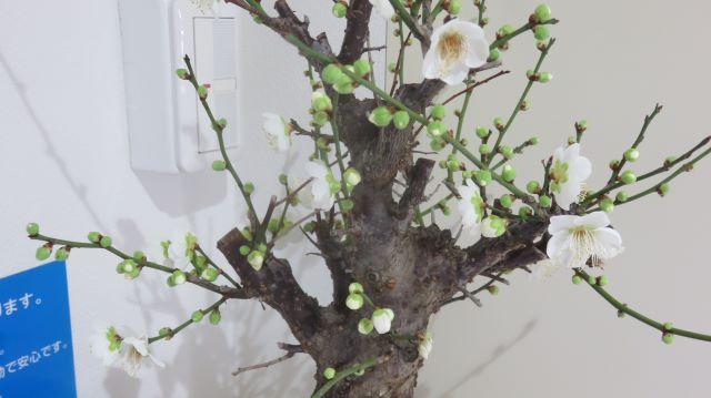 玄関の花 白梅(月影)
