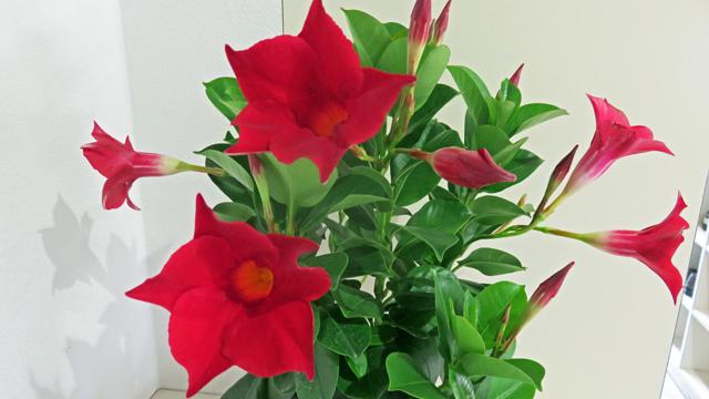 玄関の花 デプラデニア