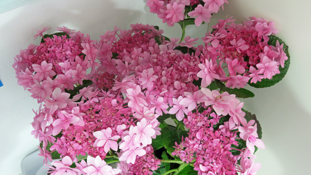 玄関の花 アジサイ